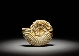 Fossilized Jurassic Perisphinctes Ammonite Cephalopod Marine Snail Fossil photo