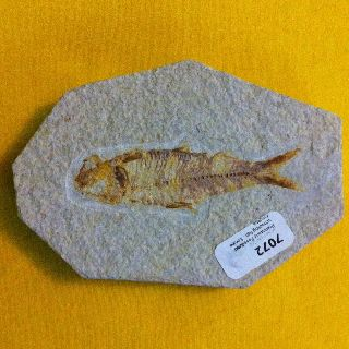 Prehistoric Fossilized Schooling Fish Plaque Very Rare photo