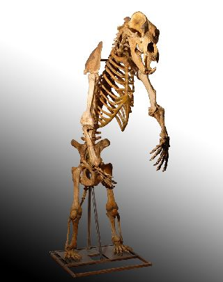 Prehistoric Ursus Spelaeus Cave Bear Skeleton photo