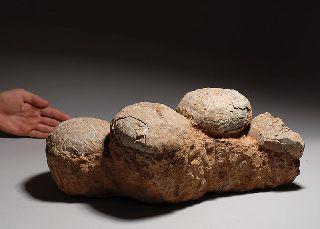 Ex.  Rare Fossil Four - Egg Nest - Hadrosaurus Dinosaur photo