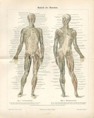 1894 Human Muscular Systems Muscles Antique Lithograph Print photo