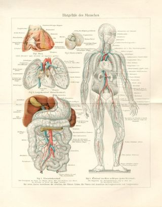 1894 Human Circulatory System Blood Antique Chromolithograph Print photo