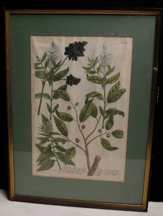 Ligustrum Riegel,  Houttuyn,  Botany,  Hand Colored,  Engraving ~ Estate Find photo