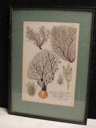 Corallina Retiformis,  Houttuyn,  Botany,  Hand Colored,  Engraving ~ Estate Find photo