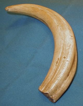 Faux Ivory Wart Hog Tusk Display,  Scrimshaw photo