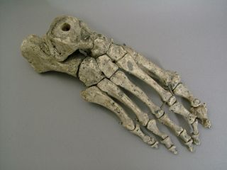 A Fine Vintage Articulated Anatomical Human Skeletal Foot,  (resin Molding). photo