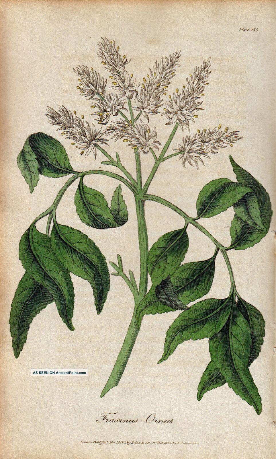 Herbs Herbal Medical 19th Century 1820 Art Medicinal Botanical 1820 Other photo