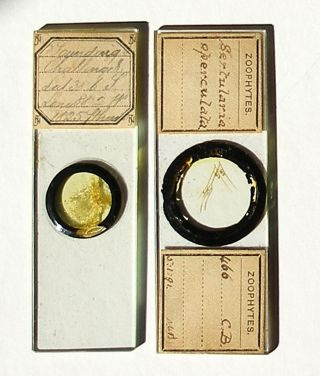 Marine Microscope Slides: Challenger Soundings & Zoophyte photo