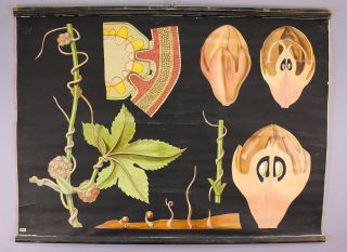 Antique School Wall Chart Inflorescences Of The Dodder photo