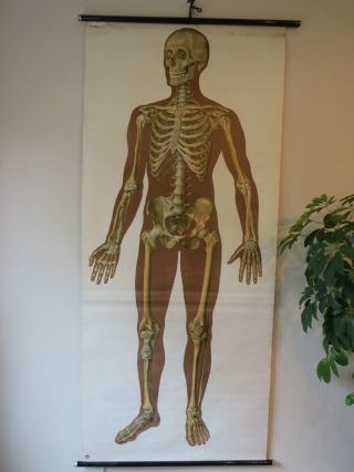 Vintage Anatomical Pull Down School Chart Of The Human Skeleton. photo