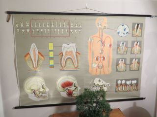 Vintage Anatomical Pull Down School Chart Of Teeth / Dentist photo