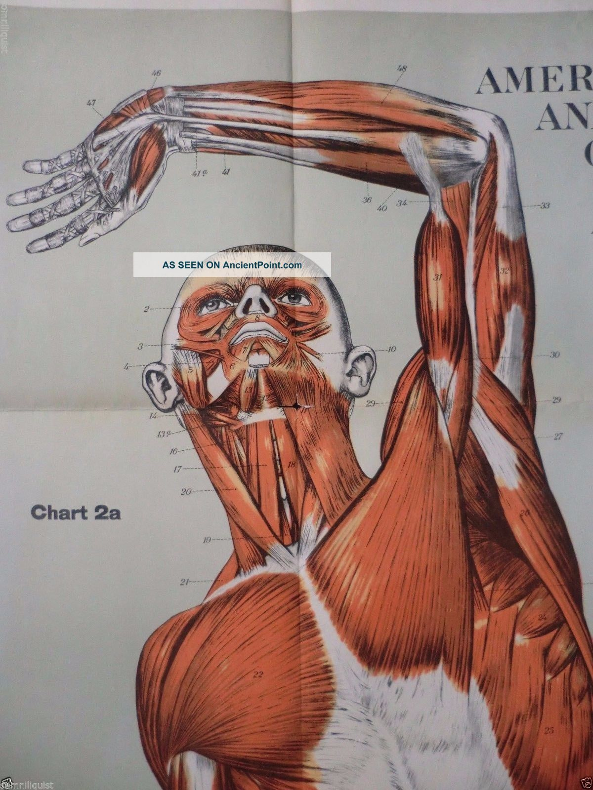 Life Size 1918 Frohse Medical Chart Plate 2 Muscles Anatomy Poster ...