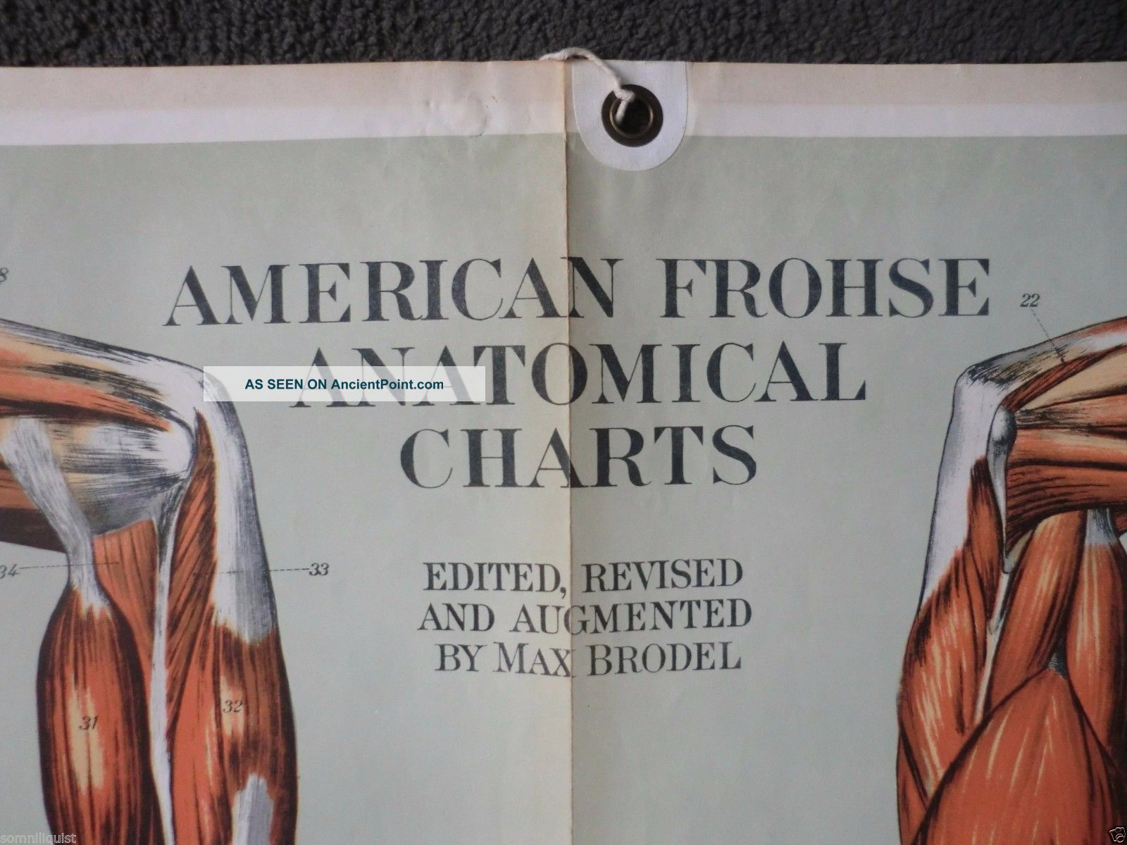 Life Size 1918 Frohse Medical Chart Plate 2 Muscles Anatomy Poster