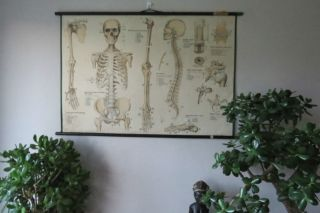 1950s Medical School Chart Of Trhe Human Skeleton On Card photo