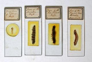 4 X Richard Hancock Whole Insect Microscope Slides: Moth Lavas photo