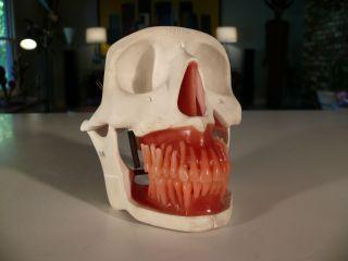 Vintage Skull Dental Model,  Dentistry Anatomical Form,  Skeleton Oddity Steampunk photo