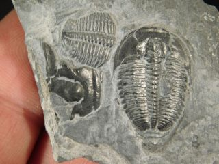 Two Small 500 Million Years Old Elrathia Trilobite Fossil From Utah 20.  1gr K photo