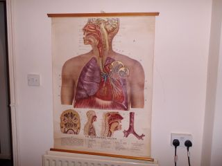 Vintage Pull Down Medical School Chart Of Respiratory System Rudolph Schick photo