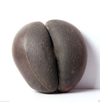 Rare Old Coco De Mer Seychelles Double Nut Seed,  Museum Piece 4789r2 photo