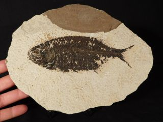 A Larger 50 Million Year Old 100 Natural Phareodus Fish Fossil Wyoming 586gr E photo