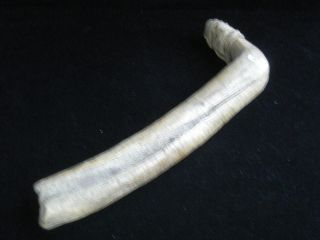 C.  1870 Or Earlier Native Plains Indian Hide Scraper Buffalo Bone Fleshing Tool photo