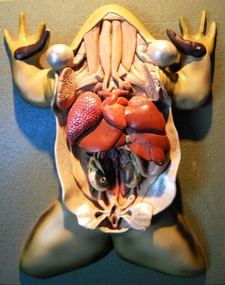 Vintage Plaster Water Frog Anatomy Model In Curio photo