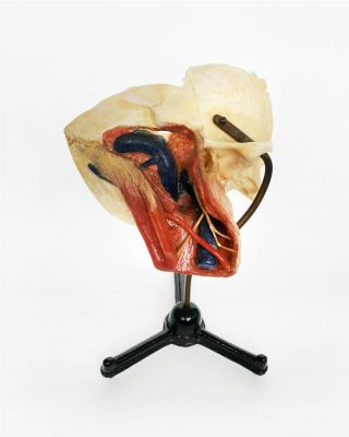 Wax And Bone Anatomical Model,  Circa 1920 photo