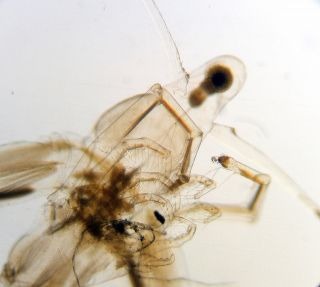 Early Microscope Slide Of A Male Water Flea photo