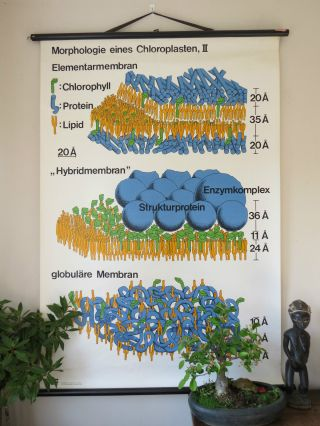 Vintage Pull Down School Wall Chart Of The Structure Of Chloroplast Ii photo