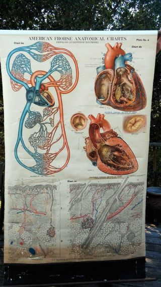 Antique Frohse Anatomical Chart No.  4 Schema - Circulation Heart - Skin 1918 Nystrom photo