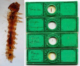 4 Microscope Slides Attributed To Joseph Bourgogne: Caterpillar,  Thrips,  Etc. photo