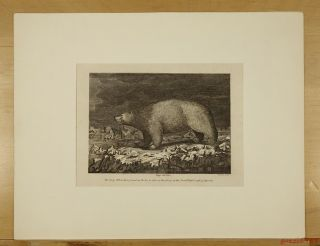 Late 1700s White Bear (polar Bear) Engraving By Grainger From Capt.  Cook Voyage photo