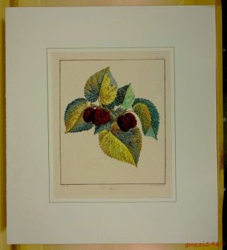 Antique French Mulberry Murier Botanical Engraving,  Print 1768 Arbres Fruitiers photo