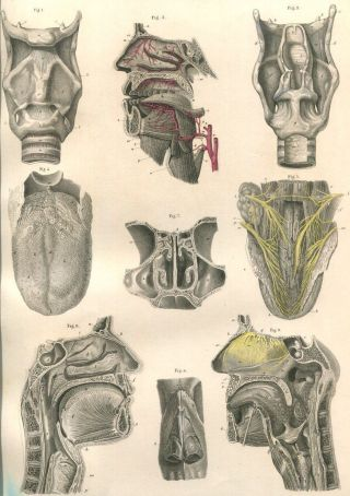 1879 Antique Medical Anatomy Print - Nose Throat - Bock ' S Atlas Of Human Anatomy photo