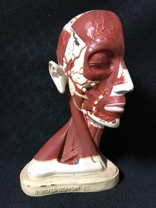Antique Denoyer Geppert Head Muscles Brain Anatomical Model photo