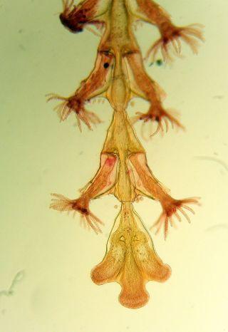 3 X Hornell Marine Microscope Slides photo