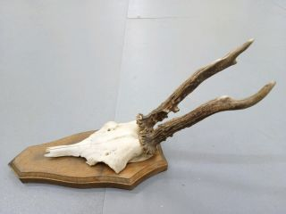 Vintage Antique Roe Deer Buck Antlers Skull Taxidermy Education Home Decor Ii photo