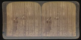 1900 Real Photo Stereoview Cultivated Bamboo Plantation Grove Near Nankin China photo