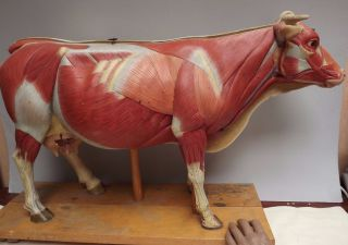 Cow [ Plaster Model ] Disssectable { Biology } Veterinary [ Hauptner ] Rare photo