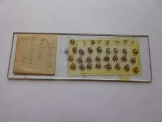 A Very Interesting Antique Glass Microscope Slide - Multiple Subject photo